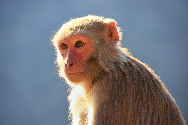 Primatenexperiment Primat