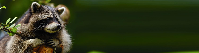 Header Waschbär grün